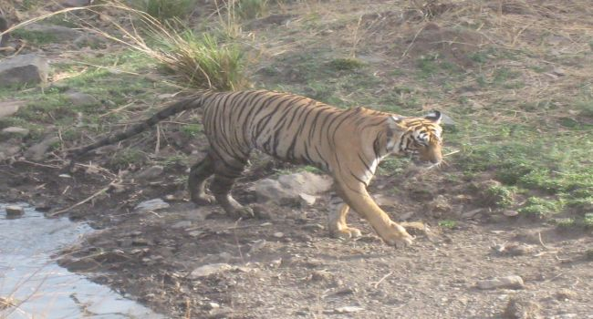 tiger of Kanha National Park