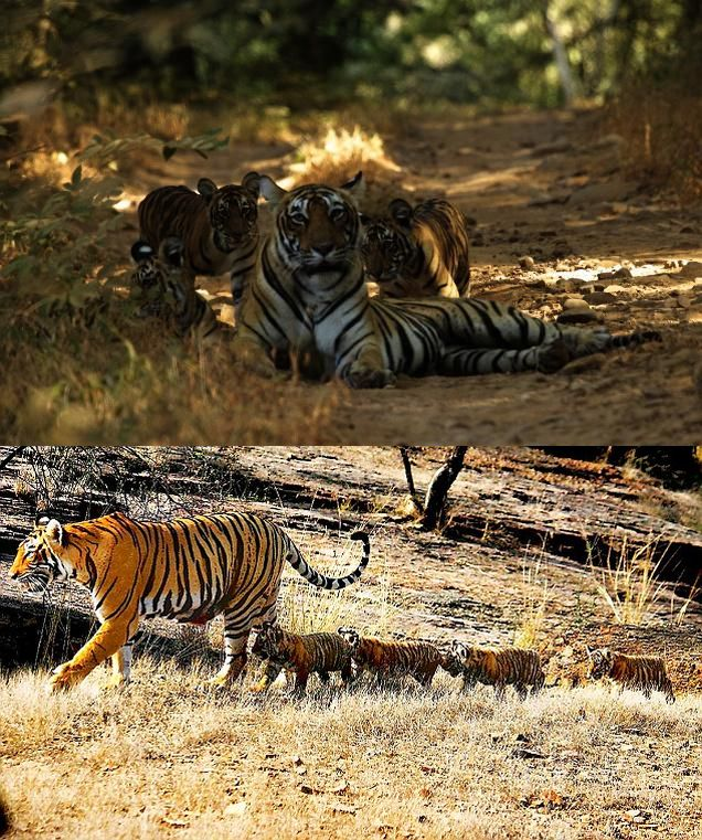 ranthambore national park newborn tiger