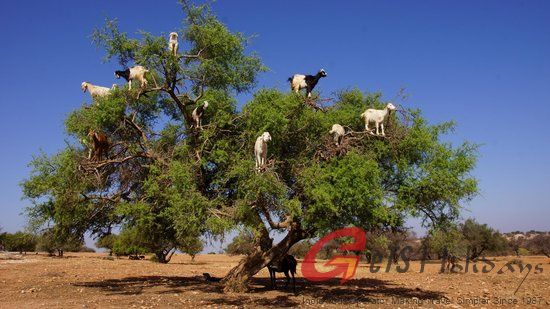 The tree goats, Morocco