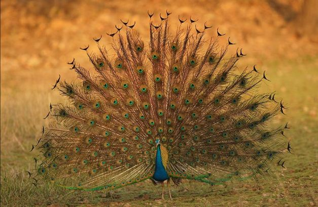 peacock-at-kanha