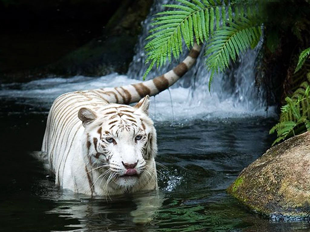 white-tiger-in-India