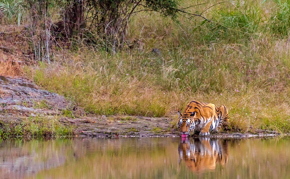 Female Tiger Rajbehra - Drinking water at Bandhavgarh