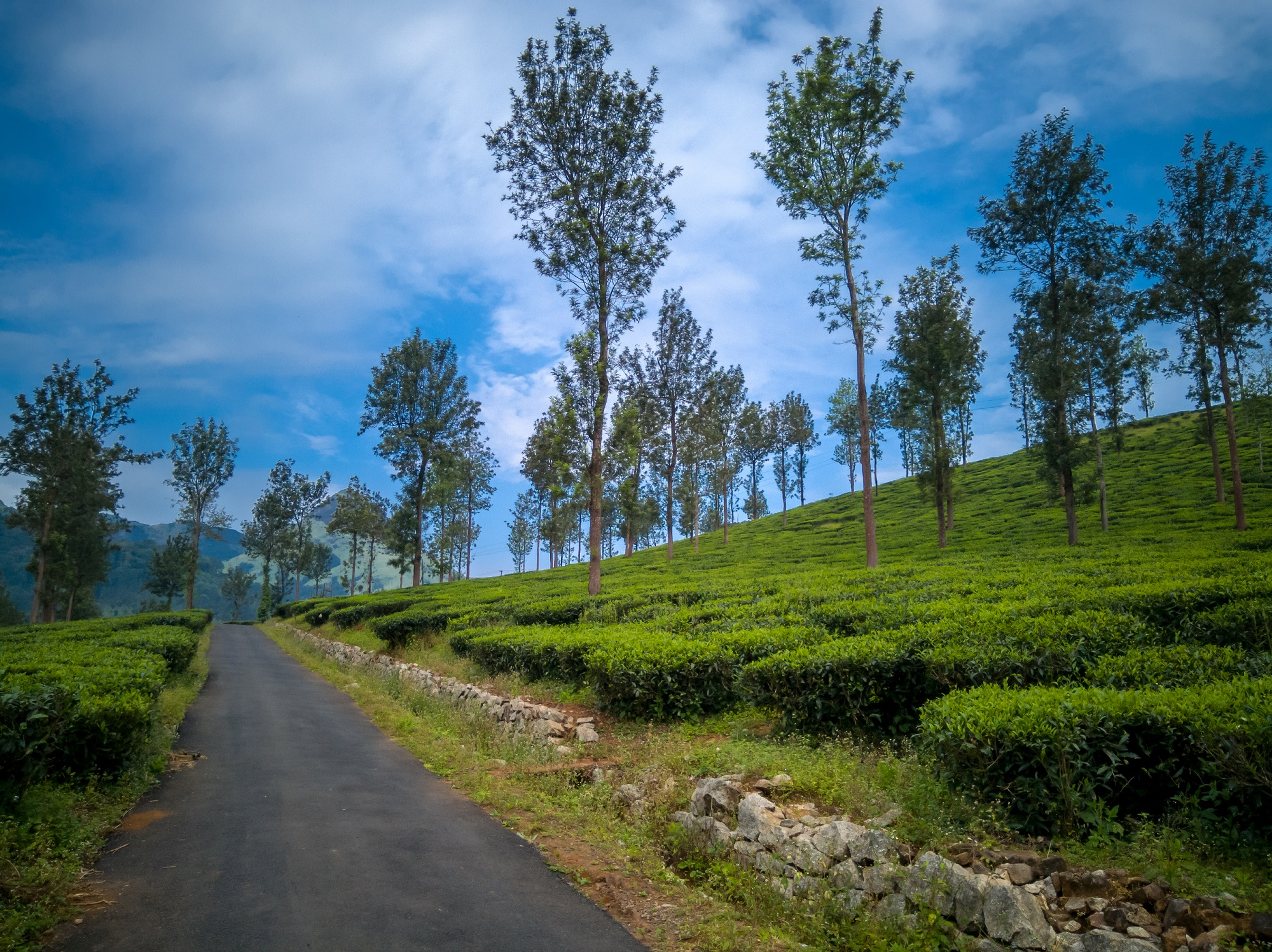 Road through Tea Plantations in Kerala, Wayanad